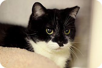 Domestic Shorthair Cat for adoption in Chicago, Illinois - Edina Monsoon