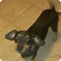 Adopt A Pet :: Amy - dapple dachie! - Phoenix, AZ