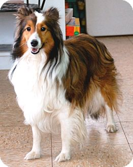 Sheltie, Shetland Sheepdog Dog for adoption in Circle Pines, Minnesota - Cassie