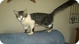Domestic Longhair Kitten for adoption in Sanford, North Carolina - Romeo
