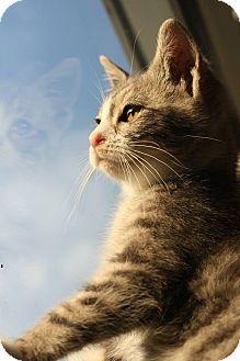Domestic Shorthair Kitten for adoption in Astoria, New York - Margaret