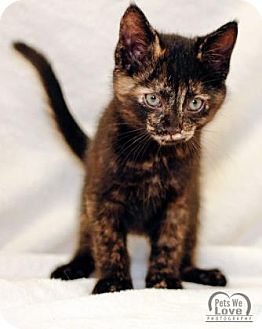 American Shorthair Kitten for adoption in collingwood, Ontario - Orchid