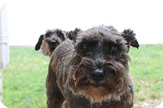 Miniature Schnauzer Dog for adoption in Sharonville, Ohio - Fritz