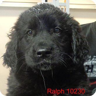 Golden Retriever/Labrador Retriever Mix Puppy for adoption in Greencastle, North Carolina - Ralph