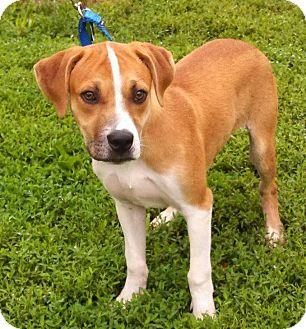 Boxer/Labrador Retriever Mix Dog for adoption in Woodlyn, Pennsylvania - Jasper