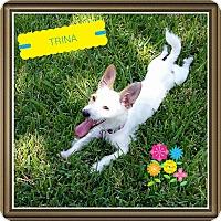 Adopt A Pet :: Terrific Trina - plano, TX