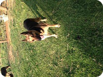 German Shepherd Dog Dog for adoption in Fort Worth, Texas - Princess