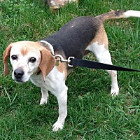 Beagle Dog for adoption in Flintstone, Maryland - Casey