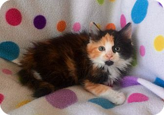 Maine Coon Kitten for adoption in Tampa, Florida - Candy