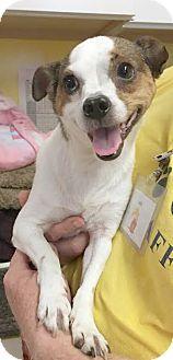 Chihuahua Mix Dog for adoption in Boca Raton, Florida - Doobie