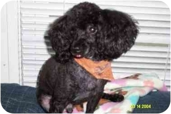 Poodle (Miniature) Dog for adoption in Dayton, Ohio - Harley
