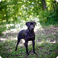 Adopt A Pet :: Tillman - Lewisville, IN