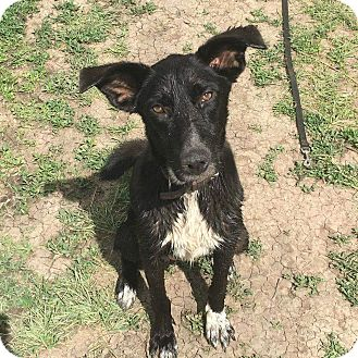 Labrador Retriever Mix Dog for adoption in Alamosa, Colorado - Lola