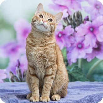 Domestic Shorthair Cat for adoption in Houston, Texas - Haymitch