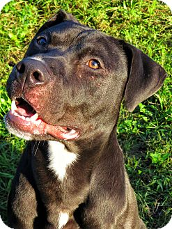 Pit Bull Terrier Mix Dog for adoption in West Babylon, New York - Irwin