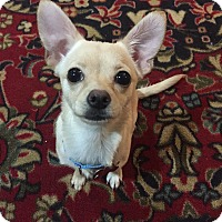 Adopt A Pet :: Little Debbie - Troy, MI