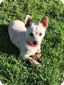 Chihuahua/Westie, West Highland White Terrier Mix Puppy for adoption in Los Angeles, California - Loki