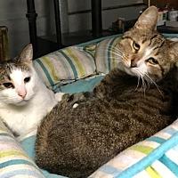 Adopt A Pet :: Coco - Wantagh, NY