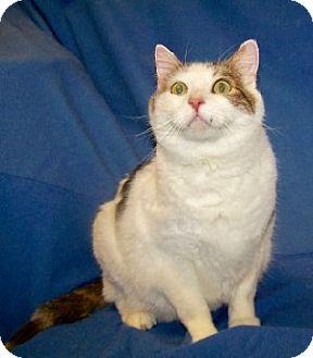 Domestic Shorthair Cat for adoption in Colorado Springs, Colorado - Jack
