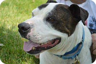 American Pit Bull Terrier Mix Dog for adoption in Livonia, Michigan - Subby Bartholomew (AK)