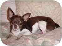 Chihuahua Mix Dog for adoption in Carrollton, Texas - Bria