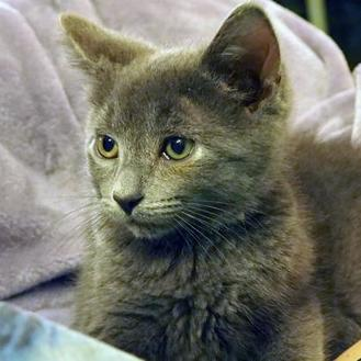 Domestic Mediumhair/Domestic Shorthair Mix Cat for adoption in Verona, Wisconsin - ROCKY