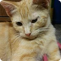 Adopt A Pet :: Orville - Morganton, NC
