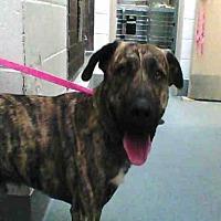 Adopt A Pet :: ZEUS - Albuquerque, NM