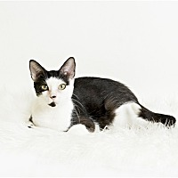 Domestic Shorthair Cat for adoption in Troy, Virginia - Aries