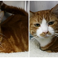 Adopt A Pet :: Sir Kitty - Forked River, NJ
