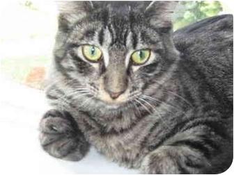 Hemingway/Polydactyl Kitten for adoption in Duncan, British Columbia - Stumpy McGuire
