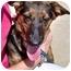 Photo 1 - Dachshund/German Shepherd Dog Mix Dog for adoption in Inman, South Carolina - Gracie