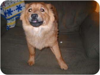 Pomeranian/Chow Chow Mix Puppy for adoption in Glastonbury, Connecticut - Pumpkin
