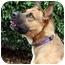 Photo 1 - German Shepherd Dog Mix Dog for adoption in Santa Barbara, California - Mango
