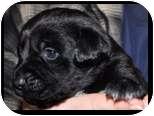 Labrador Retriever Mix Puppy for adoption in Huntingburg, Indiana - Sega