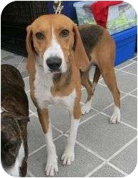 Foxhound Mix Dog for adoption in Richmond, Virginia - Caitlin