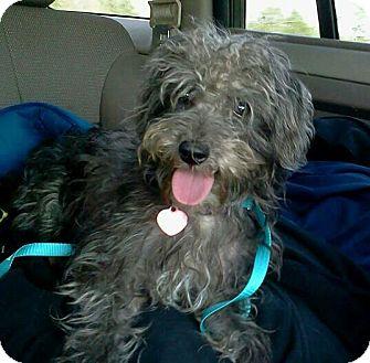 Poodle (Miniature)/Schnauzer (Miniature) Mix Dog for adoption in Woodland, Alabama - Bubba