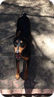 Doberman Pinscher Dog for adoption in Los Angeles, California - Adobe
