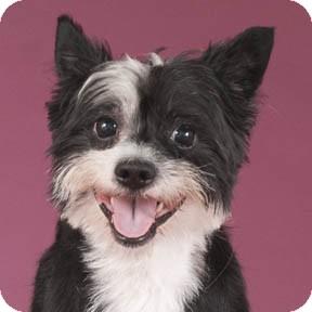 Westie, West Highland White Terrier Mix Dog for adoption in Chicago, Illinois - Archie