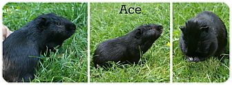 Guinea Pig for adoption in Brooklyn Park, Minnesota - Ace