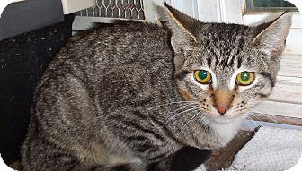 Domestic Shorthair Kitten for adoption in Escondido, California - Alonso