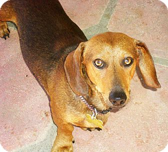 Dachshund Dog for adoption in San Jose, California - O'Henry