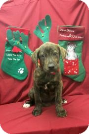 Mastiff/Hound (Unknown Type) Mix Puppy for adoption in Buena Vista, Colorado - Smackdown