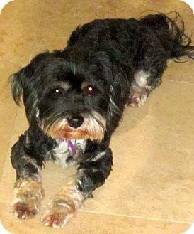 Lhasa Apso/Shih Tzu Mix Dog for adoption in Scottsdale, Arizona - Thomas