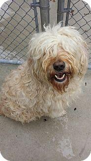 Labradoodle Mix Dog for adoption in New London, Wisconsin - Einstein