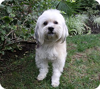 Havanese Mix Dog for adoption in Newport Beach, California - FARRELL