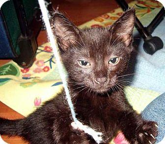 Domestic Shorthair Kitten for adoption in Salem, Oregon - Monkey