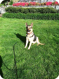 German Shepherd Dog Dog for adoption in Lake Oswego, Oregon - Sarah
