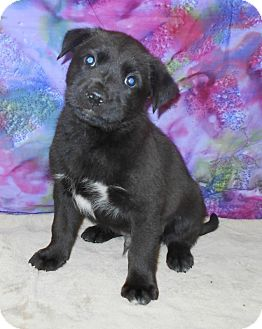 Labrador Retriever/Shepherd (Unknown Type) Mix Puppy for adoption in Allentown, New Jersey - Geronimo