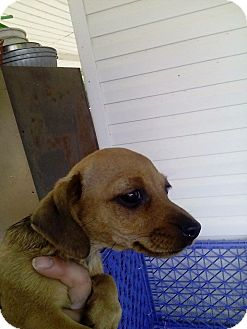 Dachshund Mix Puppy for adoption in Murfreesboro, Tennessee - Penny